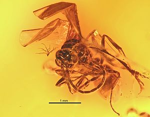 Pachycondyla succinea - P. succinea male