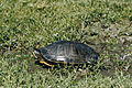 Painted Turtle 1.jpeg