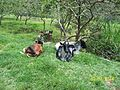 Paisagem rural com vacas.JPG