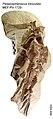 Palaeospheniscus biloculata MEF-PV 1729.jpg