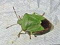 Palomena prasina (Pentatomidae) (Green shield bug) - (imago), Arnhem, the Netherlands.jpg