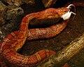 Pantherophis guttatus Ile aux Serpents 14 11 08 04.jpg