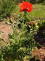 Papaver orientale 2020-05-22 8990.jpg