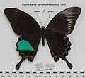 PapilioKarnaCarnatusMUpUnAC1.jpg