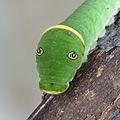 Papilio canadensis caterpillar 3.JPG