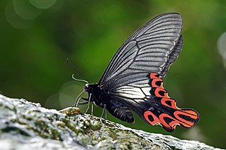 Sưu tập Bộ cánh vẩy 2 - Page 66 320px-Papilio_maraho_male_ventral_view_20160423-2