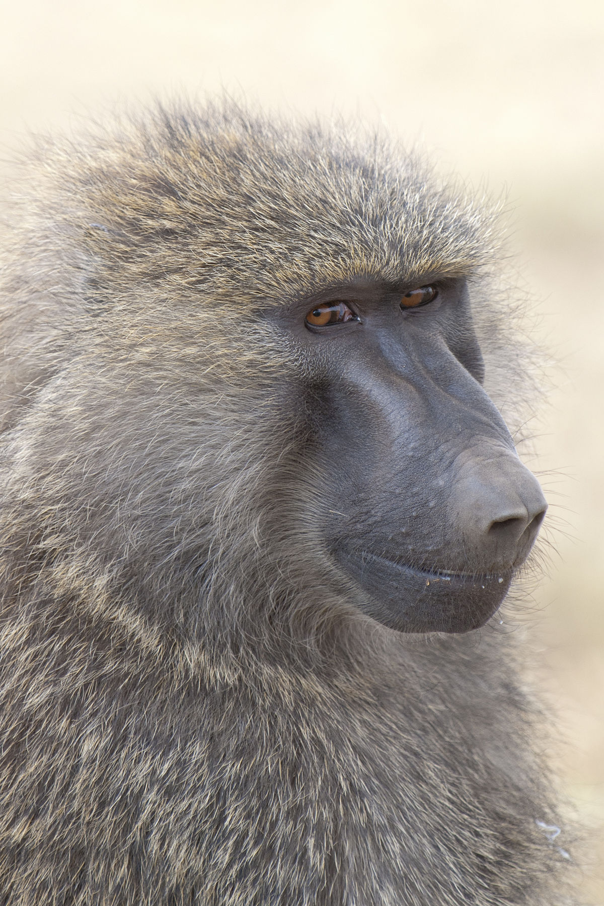 A Baboons But Baboon - Wikipe...