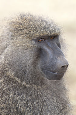 Papio anubis (Serengeti, 2009).jpg