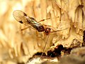 Parasitic Wasp (31865811465).jpg