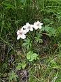 Parnassia palustris001.jpg