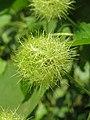 Passiflora foetida at Mayyil (2).jpg