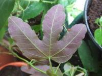 Passiflora kermesina2