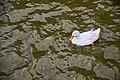 Pato domestico en el Parque de la Agricultura - Esperanza; Santa Fe - 1.jpg