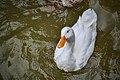 Pato domestico en el Parque de la Agricultura - Esperanza; Santa Fe - 2.jpg