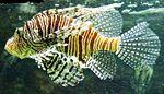 Pazifischer Rotfeuerfisch - Red lionfish - Pterois volitans.jpg