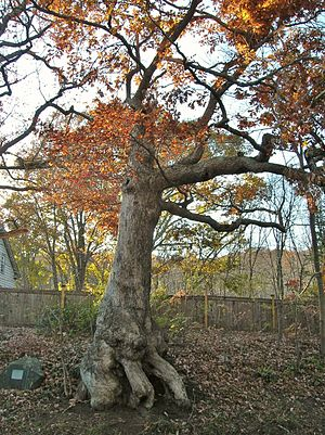 Bristol, Connecticut - Peaceable Oak Tree