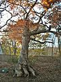Peaceable Oak, Bristol, CT - November 8, 2011.jpg