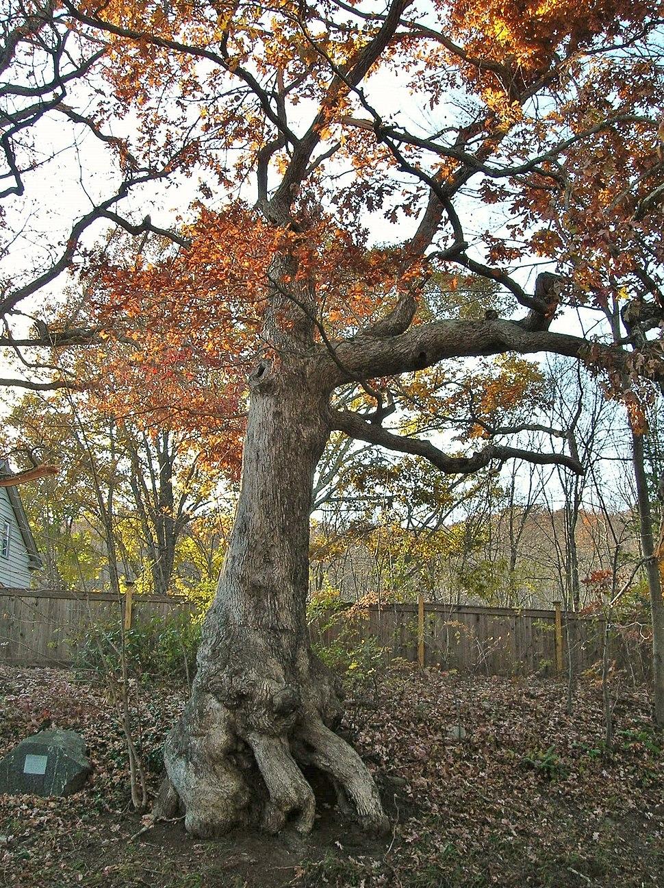 Peaceable Oak, Bristol, CT - November 8, 2011