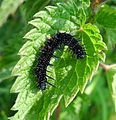 Peacock Caterpillar. Inarchis io - Flickr - gailhampshire.jpg