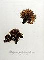 Peltigera polydactyla — Flora Batava — Volume v8.jpg