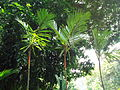 Penang Botanic Gardens (25).JPG