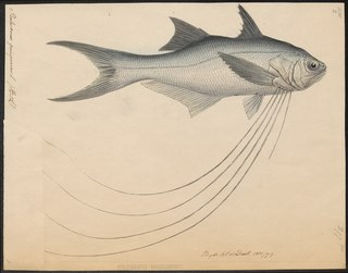 Royal threadfin species of fish