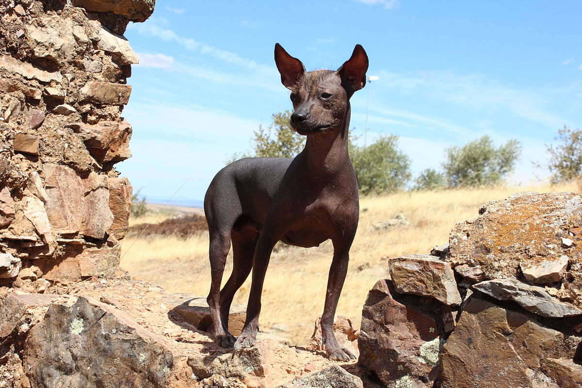 Perro sin pelo del Perú - Wikipedia, la enciclopedia libre