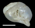 Perrottetia hongthinhae shell 4.png