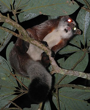 Namdapha National Park - The red giant flying squirrel is often seen in this park