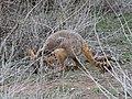 Petrogale xanthopus (44507732542).jpg