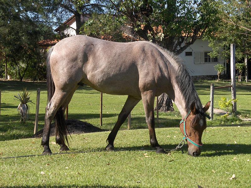 File:Pferd mit Roan Färbung (Stichelhaariges Pferd).jpg