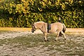 Pferde in Zillingtal-Celindof II.jpg