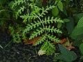 Phacelia tanacetifolia 106899858.jpg