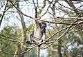 Phayre's leaf monkey thinking.jpg