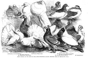 Fancy pigeon - Pigeon breeds on display (1864)