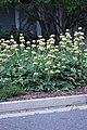 Phlomis russeliana IMG 0111.jpg