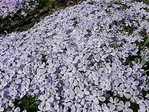 Phlox diffusa - Image: Phlox diffusa 22156