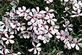 Phlox subulata Apple Blossom 7zz.jpg