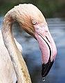 Phoenicopterus roseus portrait.jpg