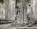 Photograph of forest redwoods Humboldt County Northwest California US.jpg