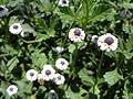 Phyla nodiflora (Familyː Verbenaceae) I.jpg