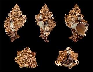 <i>Phyllonotus pomum</i> Species of gastropod
