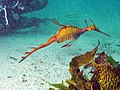 Phyllopteryx taeniolatus.jpg