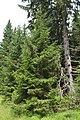 Picea abies3.jpg