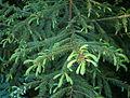 Picea koraiensis young.JPG