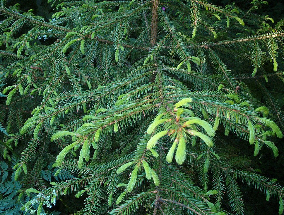 Picea koraiensis young