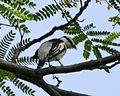 Pied Triller (Lalage nigra) - Flickr - Lip Kee.jpg