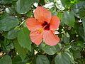 PikiWiki Israel 21206 Red-Pink Hibiscus.JPG
