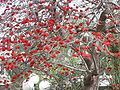 PikiWiki Israel 314 Erythrina corallodendrum אלמוגן רחב-עלים.jpg