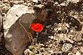 PikiWiki Israel 31718 Plants of Israel.JPG